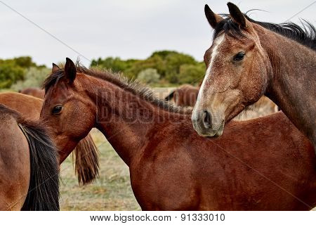 Herd Of Horses With Foal