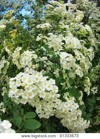 Defocused And Blur Image Of Bunches Of White Flowers On A Bush
