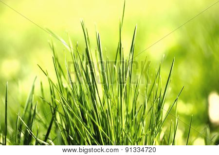 Green grass with dew, close up