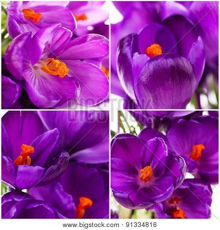 Collage of purple crocus