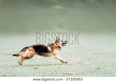 Funny German Shepherd Catching Disc In Jump