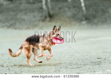 Funny German Shepherd Catching Disc In Jump