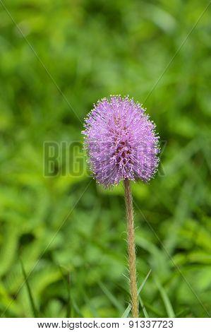 Purple Thistle Latin name cirsium horridulum