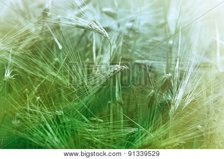 Unripe wheat field