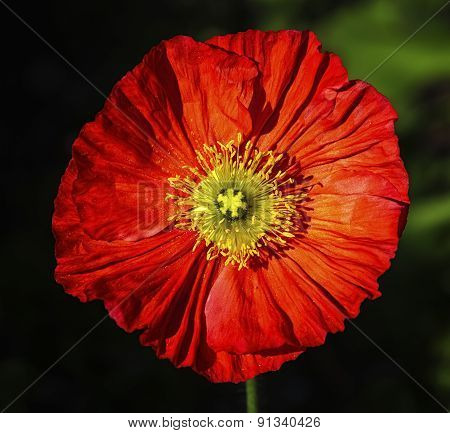 Spring fever red iceland poppy, papaver nudicaule
