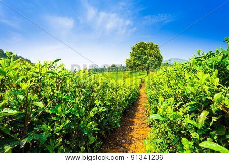 tea plantations under blue sky