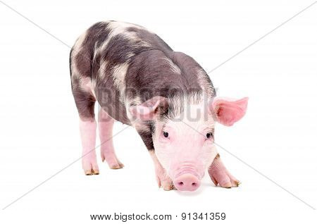 Little cute pig