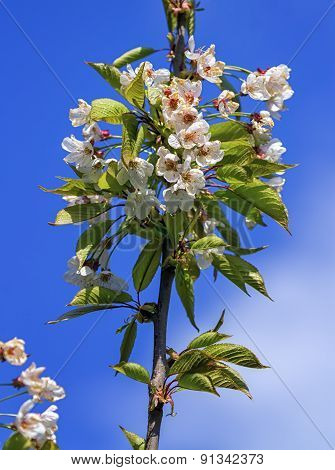 Wild, sweet, bird or gean cherry tree, prunus avium, flowers