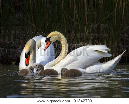 Mute swan, cygnus olor, parents and babies