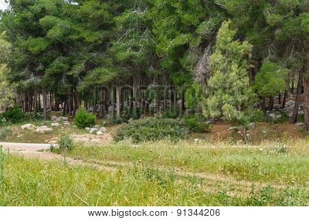 Spring Pine Forest With Stones. Israel.