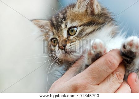 Cute kitten in the hands