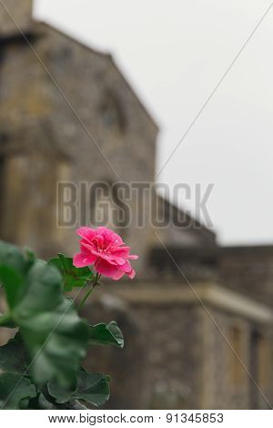 A Pink Flower At A Cemetery In Europe
