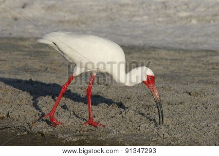 White Ibis in Breeding Plumage