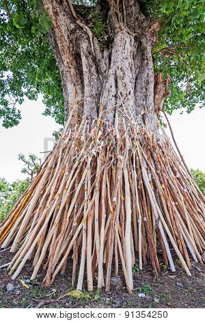 Crutches Bodhi Tree, Tradition Thai In North Of Thailand.