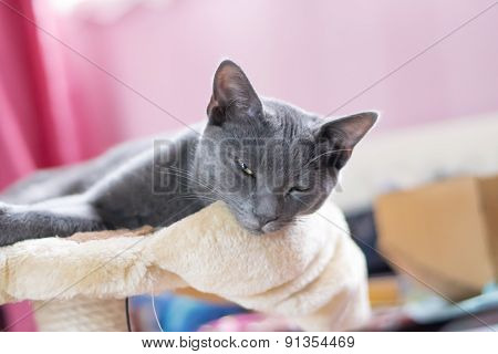 Blue Korat Kitten
