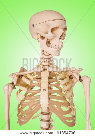 Human Skeleton Isolated On Green Background.