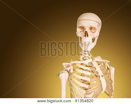 Human Skeleton Isolated On Brown Background