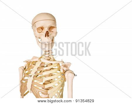 Human Skeleton Isolated On White Background.