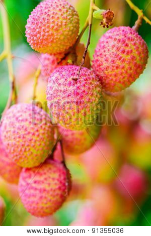 Lychee fruit on the tree in the garden of thailand Asia fruit.