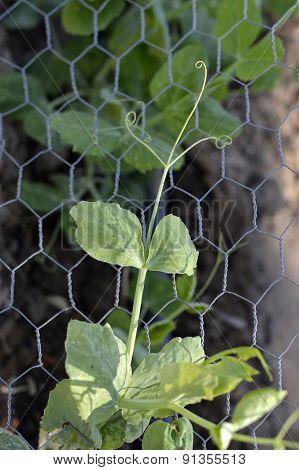 Plant Green Peas.
