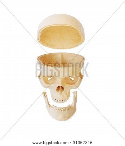 Separate Of Human Skull