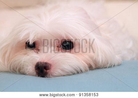 resting Maltese