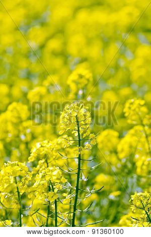 Colza yellow flower on field