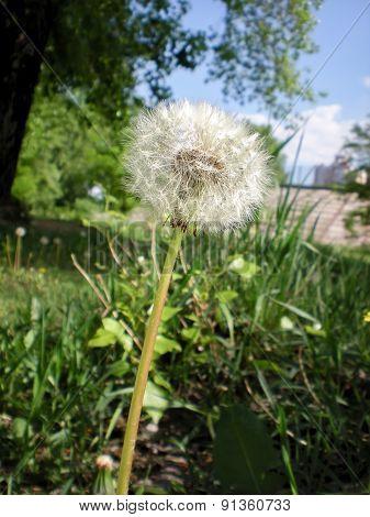 Dandelion In The Meadow
