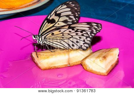 Butterfly Papilio,