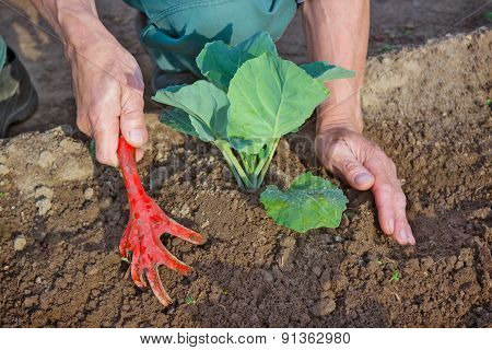 Hilling Cabbage Seedlings  In The Spring
