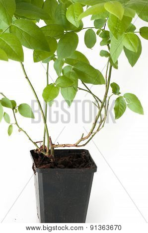 Blueberry Plant With Pot And Roots
