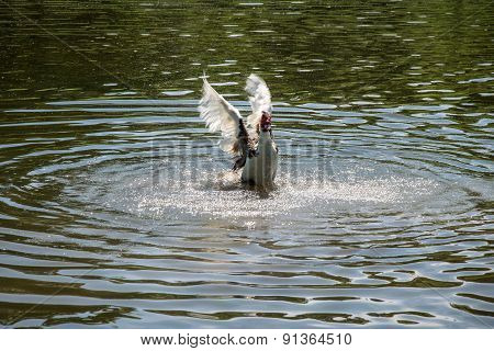 Muscovy Duck Spreading its wings