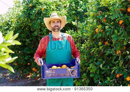 Farmer man harvesting oranges in an orange tree field