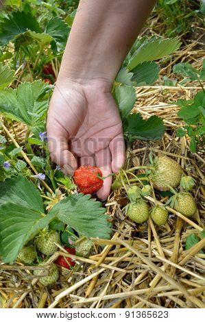 Picking Up Strawberry From Field