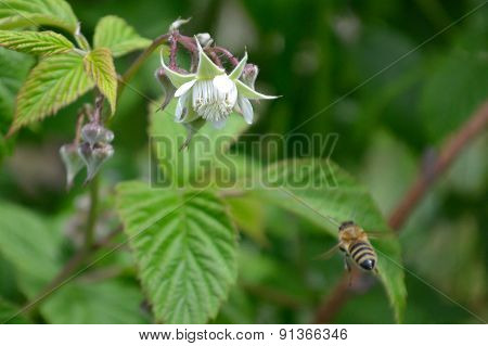 Honeybee flying to reach raspberry flower
