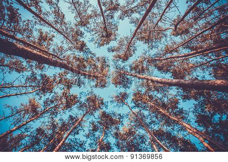 Silhouette of pine forest