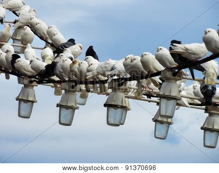 Flock of white pigeons sit on hanging lights