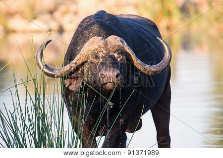 Thirsty Cape Buffalo Bull Drinking Water From Pond