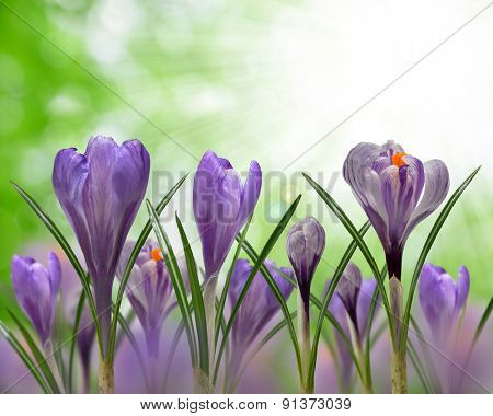 Spring flowers Crocus on green natural background