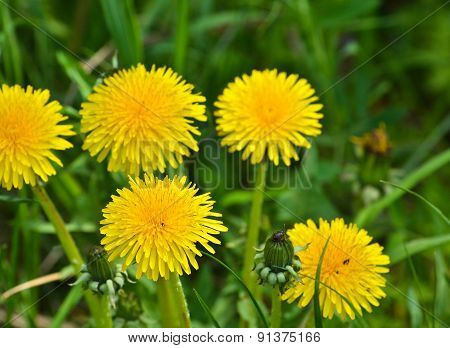 Dandelions In The Meadow.
