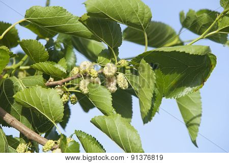 White Mulberry Fruits