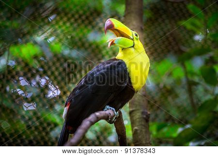 Colorful Keel-billed Toucan Bird