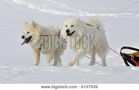 Two Samoyed Dogs