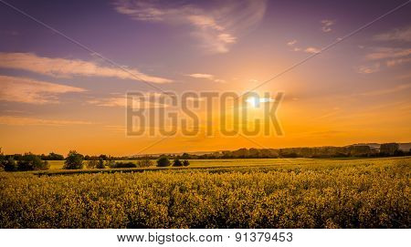 Field Of Yellow Rape