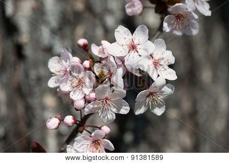 white cherry flowers in spring on tree bark background