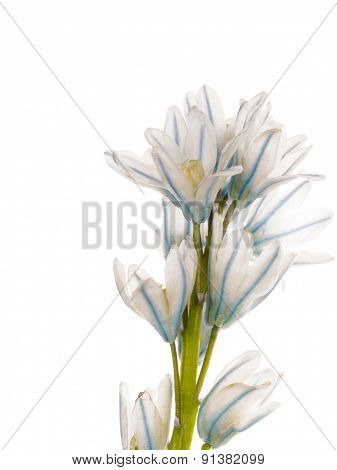 White And Blue Delicate Flower Puschkinia Niatsintnoides