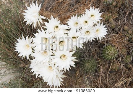 Beautiful Cactus With White Blooming Flowers
