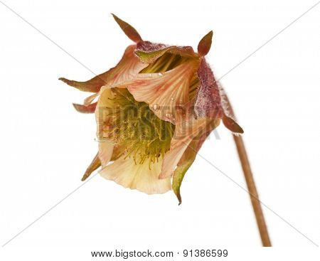 Macro shot of Geum rivale or Water avens blossom on white background