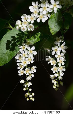 Branch Of The Blossoming Bird Cherry In A Bright Sunny Day