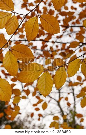 Beech Tree (Fagus) with gold & copper colored autumn fall leaves